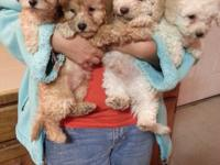 Adorable 8 week old Shih Tzu puppies. Black and white,
