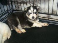 We have 2 registered Husky puppies left without