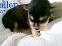 adorable siberpoo's (siberian husy & standard poodle)