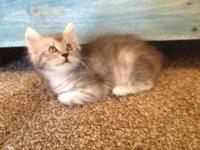 GORGEOUS FEMALE MAINE COON KITTEN AVAILABLE FOR