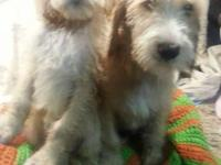 ready to go now Spindoodle (spinone italiano & standard