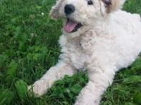 Registered Standard Poodle Puppies, we have both boys