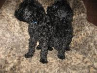 Registered Standard Poodles. Will certainly be all set