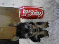 4 teacups Yorkie pups are available for sale! They were