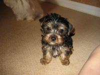Gorgeous Tiny teacup Yorkie Puppies For Re-homing .