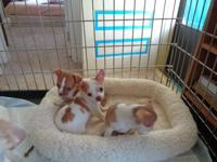 Tiny registered party colors Chihuahua puppies, Dew