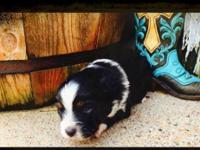 Black Tri Female with lots of spunk. She barks and