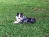 Young Male Australian Shepherd-Toy Size- for sale. Blue