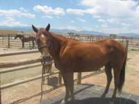 8 YEAR OLD AQHA REGISTERED SORREL MARE- SOUND-SWEET- UP