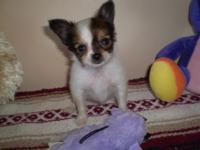 Tri-color registered male papillon puppy. Born 9/26/15