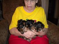 Registered Yorkie puppies ready now. Born February 20,