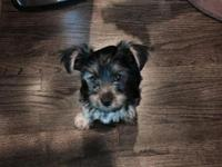 Healthy and adorable Yorkie puppies available. They are