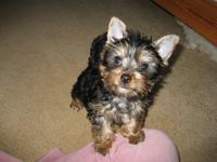 Registered Yorkie puppies for adoption. Male and