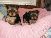 Gorgeous Tiny Yorkie Puppies For Re-homing . Very