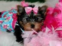 Gorgeous Tiny Yorkie Puppies For your family.. Very