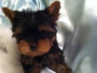 Registered Yorkshire Terrier puppies for sale.