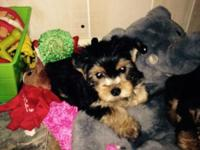 I have 3 female pure breed yorkies, they have their 1st