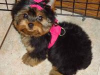 I have traditional and parti yorkie pups, male and