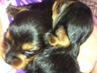Lovely signed up male Yorkies will certainly be readily