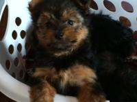 I have 2 male Yorkies that are ready for brand-new