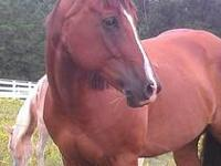 Simba is a seven year old registered gelding American