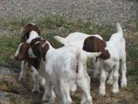 We have (3) 6 week old registered Boer Bucklings and