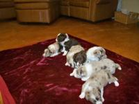 Registered border Collie $300.00 each born October