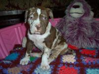 We now have 3 female catahoula bulldog puppies all set