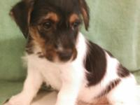 Three female Jack Russell Terrier puppies, DOB 9/18/14