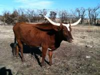 Very nice registered longhorn. cow for sale. She is a