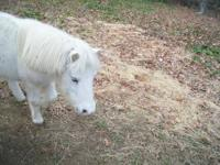 "Registered 33"" White Stallion( My Two Cents Worth) is"