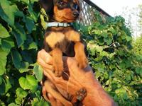 Adorable Miniature Pinscher puppies for sale. Champion