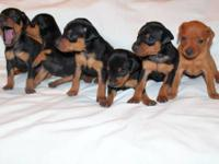 Purebred Miniature Pinscher puppies. I have males and