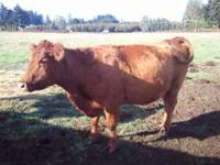 Registered Red Angus 2006 cow $1250 open and ready for