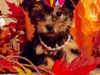 Registered Yorkshire terrier puppies. Vaccinated,