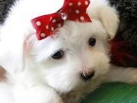 Animal Type: Dogs Breed: maltese Molly is a little girl