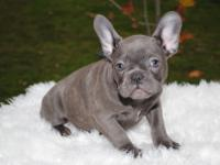 rehome Blue and Tan French Bulldog. Came from a