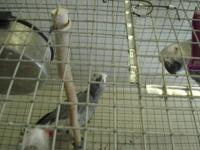 Rehoming of African grey parrots. 2 year old, Rehoming
