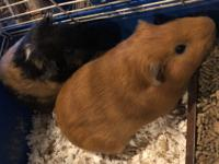 We are no longer breeding Guinea pigs. Adoption fee and