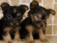 Rehoming My 13weeks old Yorkie male/female pups ,
