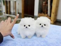 good looking male and female teacup pomeranian puppies