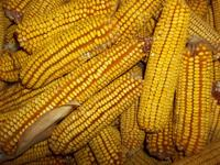 REID'S YELLOW DENT CORN (Non-treated Seeds from 2013