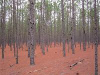 Large timberland tract with merchantable pine and