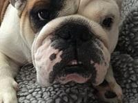 Reina's story Bulldog Lovers Delight! Reina is a 4 year