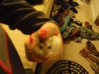 Relocating, Robo Dwarf Hamster, to a good home. It