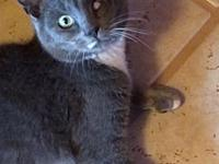 Remi's story Remi is a beautiful Russian Blue mix thats