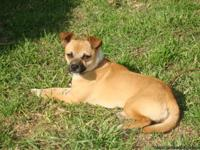 Free to good aproved home Chihuahua mix male, neutered,