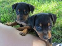 I have two little min pin puppies one girl named Ann
