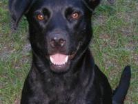 Lab mix female. All black with very little spots of