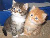 Gorgeous Christmas Kittens; Rare New Breed: 'Legend